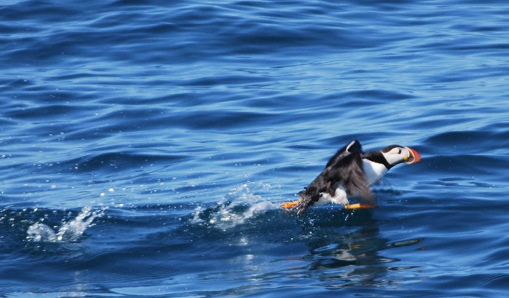 Whale Watching Iceland puffin